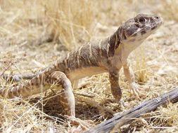 Image of Blunt-nosed Leopard Lizard