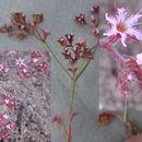 Image of <i>Chorizanthe <i>fimbriata</i></i> var. fimbriata
