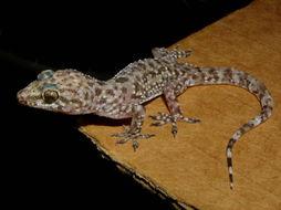Image of mediterranean house gecko