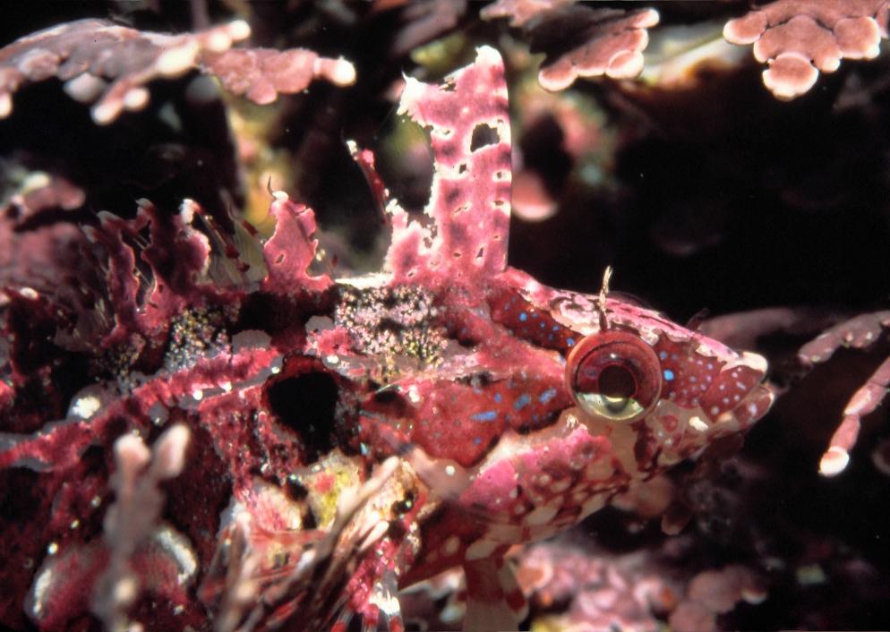 Image of Spotted kelpfish