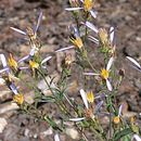 Image of rayless aster