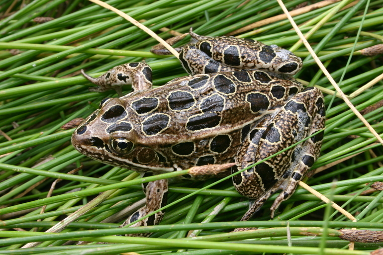 Image of Northern Leopard Frog