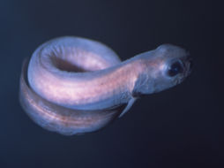 Image of Black eelpout