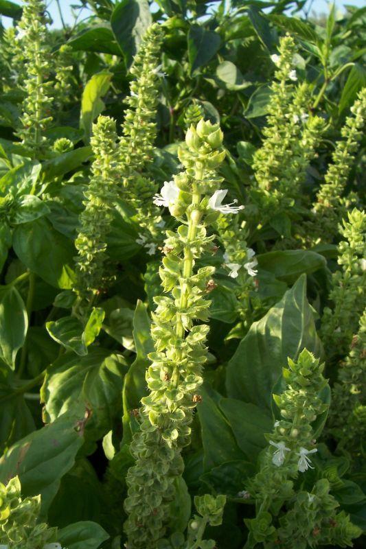 Image of sweet basil