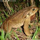 Image of cururu toad