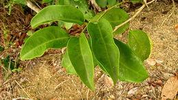 Image of <i>Schoepfia brasiliensis</i> A. DC.