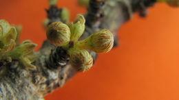 Image of <i>Myrsine guianensis</i> (Aubl.) Kuntze