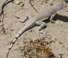 Image of Zebratail Lizard