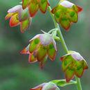 Image of <i>Anticlea mogollonensis</i> (W. J. Hess & Sivinski) Zomlefer & Judd