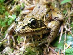 Image of California red-legged frog