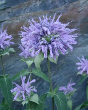 Image of <i>Monarda fistulosa</i> var. <i>menthifolia</i> (Graham) Fernald