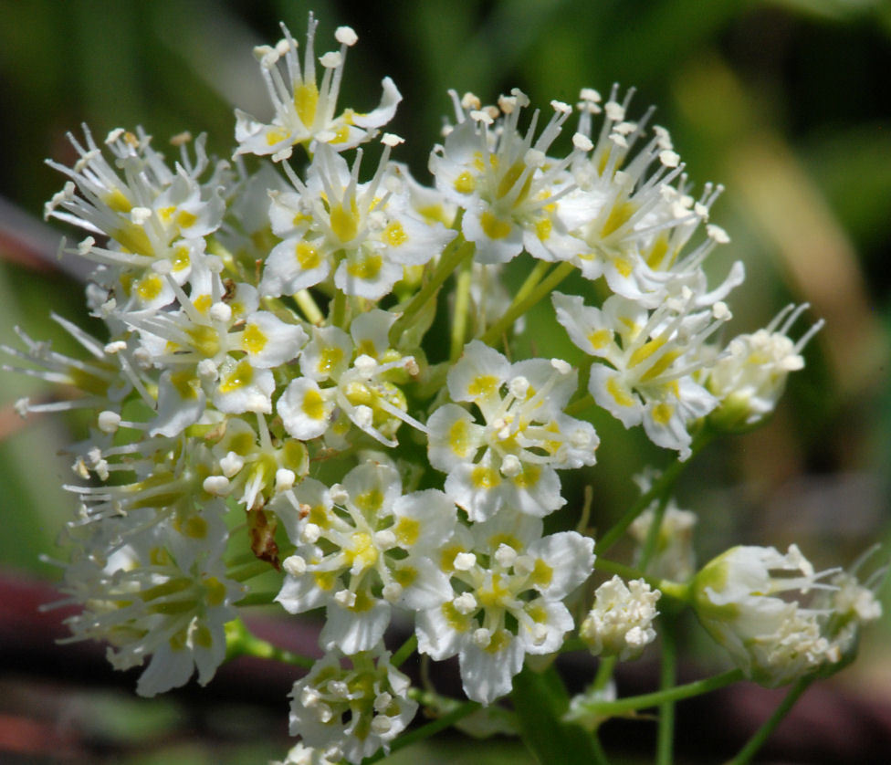 Image of foothill deathcamas