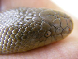 Image of Rubber Boa