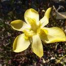 Image of <i>Moraea ramosissima</i> (L. fil.) Druce