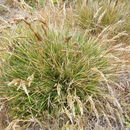 Image of hairgrass