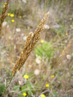 Image of Pacific hairgrass