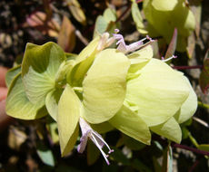 Image of <i>Origanum rotundifolium</i> Boiss.
