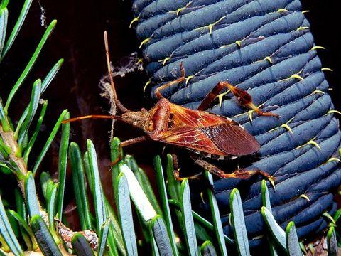 Image of Western Conifer Seed Bug