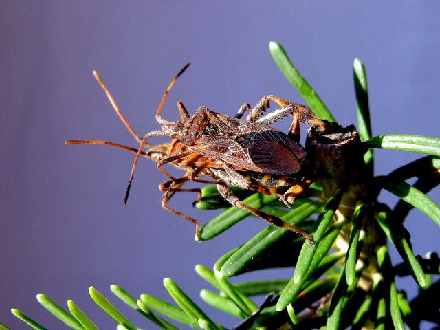 Image of Western Conifer Seed Bug