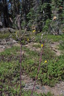 Image of Greene's hawkweed