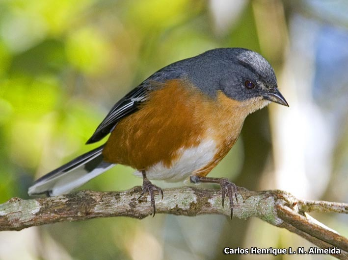 Image of Buff-throated Warbling Finch