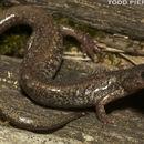 Image of Jemez Mountains salamander