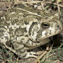 Image of Woodhouse's Toad