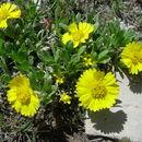 Image of four-nerve daisy