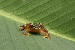 Image of Copan Brook Frog