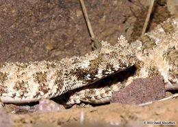 Image of <i>Pseudocerastes urarachnoides</i> Bostanchi, Anderson, Kami & Papenfuss 2006