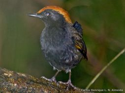Image of Rufous-capped Antthrush