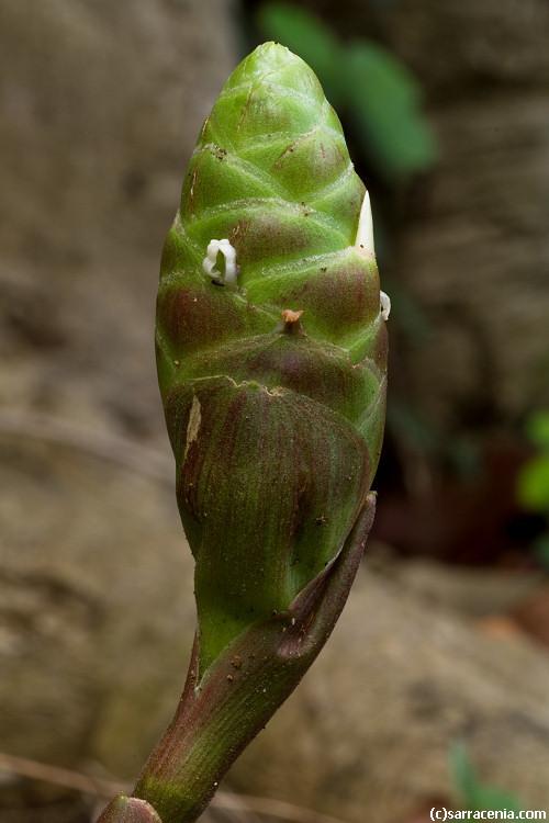 Image of bitter ginger