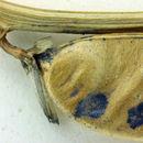 Image of Preuss' milkvetch
