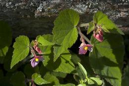 Image of <i>Begonia sandtii</i> Houghton ex Ziesenh.