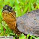 Image of Black River Turtle