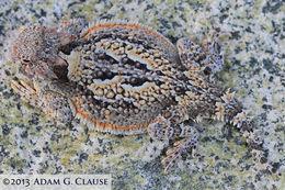 Image of Southern Desert Horned Lizard