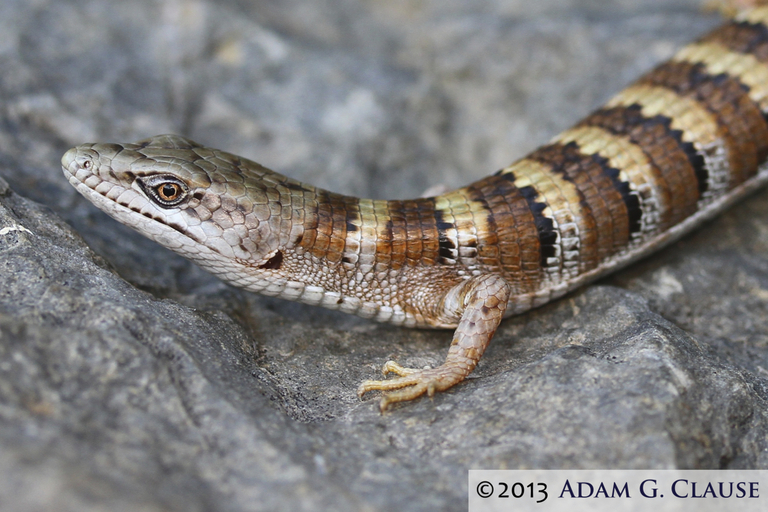 Image of Panamint Alligator Lizard