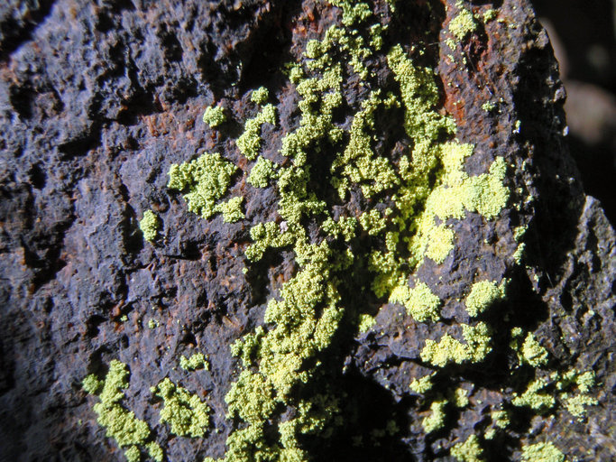 Image de <i>Chrysothrix chlorina</i> (Ach.) J. R. Laundon