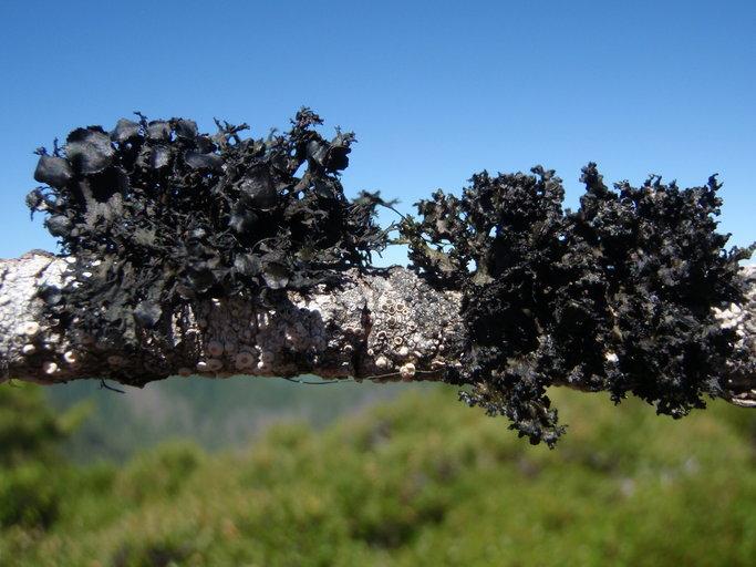 Image of <i>Kaernefeltia merrillii</i> (Du Rietz) Thell & Goward