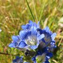 Image of pleated gentian