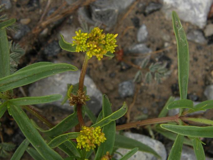 Image of <i>Flaveria anomala</i> Robinson