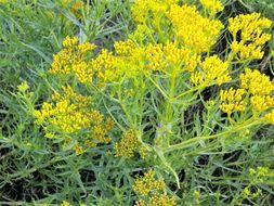 Image of <i>Flaveria oppositifolia</i> (DC.) Rydb.