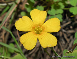 Image of California woodsorrel