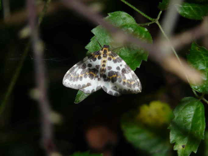 Image of common magpie moth