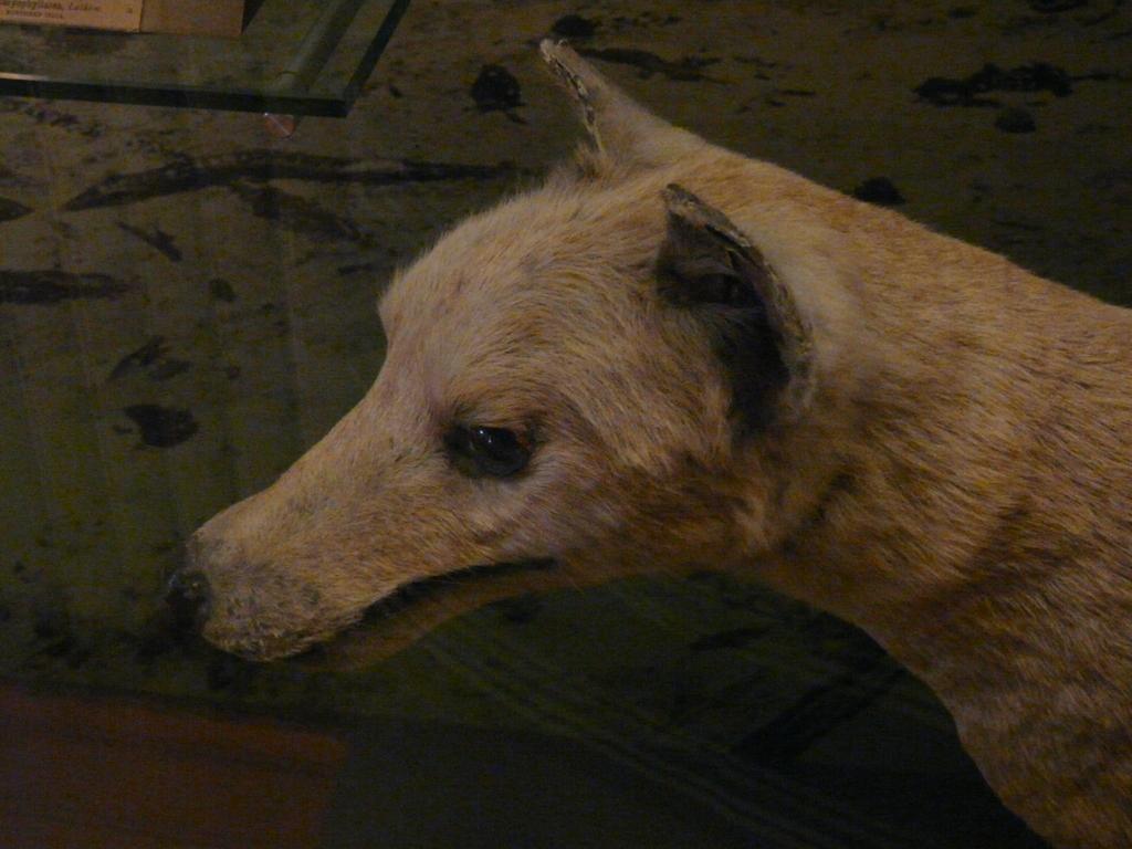 Image of thylacine