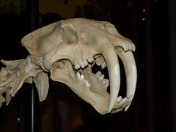 Image of saber-toothed cat