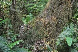 Image of Oregon spikemoss