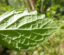 Image of Lemon balm