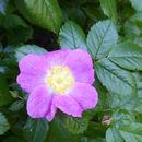 Image of <i>Rosa <i>pisocarpa</i></i> ssp. pisocarpa