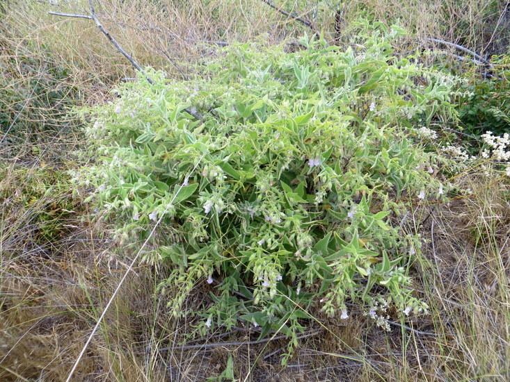 Image of island pitchersage